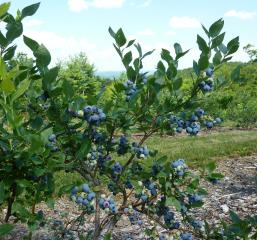 Ripening blueberries at Kenburn Orchards