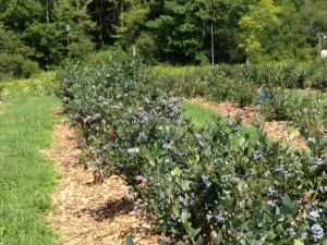 Blueberry Varieties Kenburn Orchards