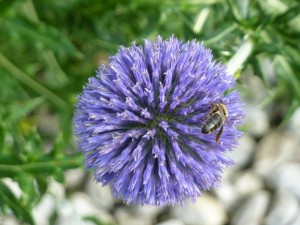 thistle bee